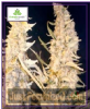 Female Skunk Special Female 10 Cannabis Seeds
